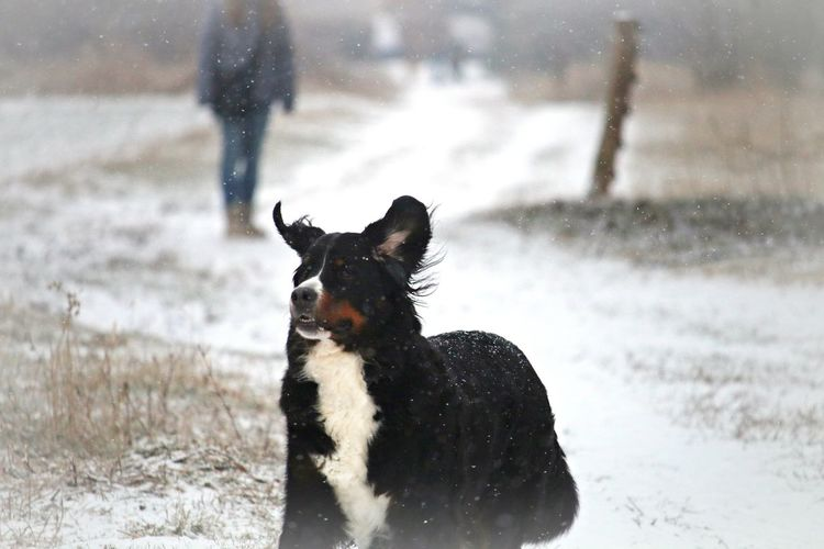 Animal Themes Animal Mammal Nature Snowing Focus On Foreground Dog Canine One Animal Snow Pets Cold Temperature Alertness Dog Photography Enjoying Life Winter Land Field Animal Photography Cute Lovely Wintertime Naturelovers Scenics - Nature Natural Beauty