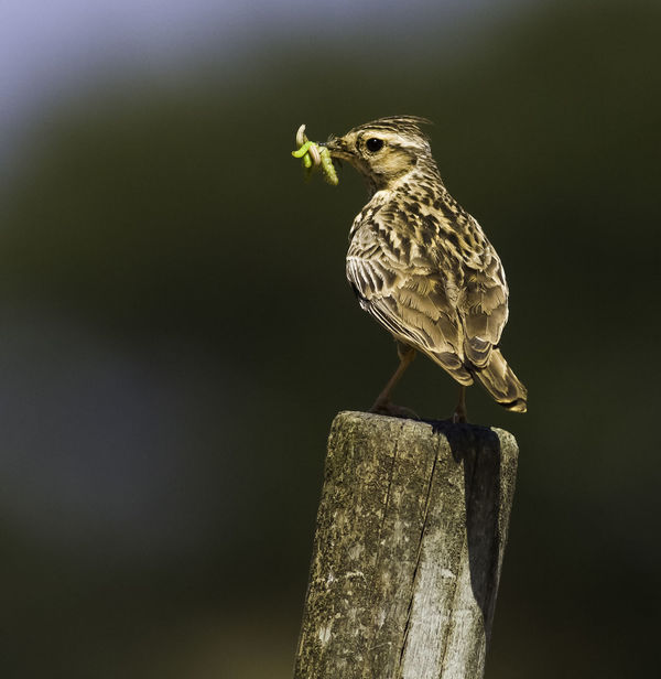 Animal Themes Animal Wildlife Animals In The Wild Bird Bird Photography Bird Photograpy Bird With Food European Birds Lark Lullula Arborea Nature Photograhy Nature Photography No People Western Palearctic Woodlark