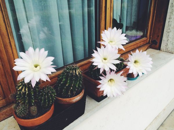 Flower Fragility Flower Head Freshness Petal Beauty In Nature Nature No People Window Sill Plant Day Gerbera Daisy Outdoors