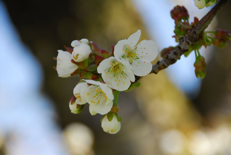 Apple blossoms in spring Flowering Plant Plant Flower Beauty In Nature Growth Fragility Freshness Vulnerability  Close-up Petal Focus On Foreground Springtime Flower Head Blossom Tree Inflorescence Nature Branch Day White Color