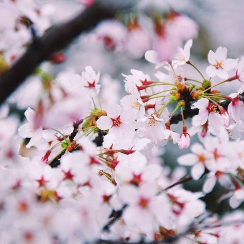 Sakura Japan Sakura Pink Pastel Power Flower Travel VSCO Flowers Spring Flowers