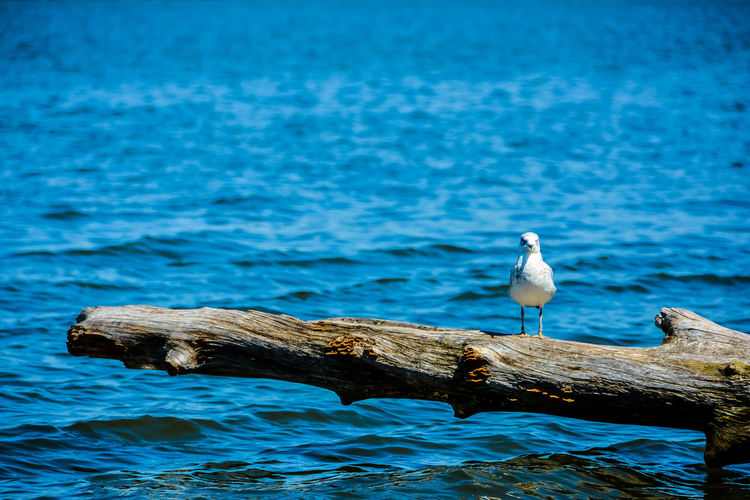 A single gull standing on a large piece of driftwood on the Susquehanna River. Animal Wildlife Animals In The Wild Beauty In Nature Bird Blue Driftwood Nature No People One Animal Outdoors Perching Seagull Water Waterfront Wood - Material