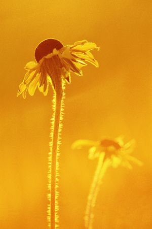 Solid gold. Gold Golden Hour Oxeye Daisy Check This Out Flowerpower Prairie Rimlight Backlight Film