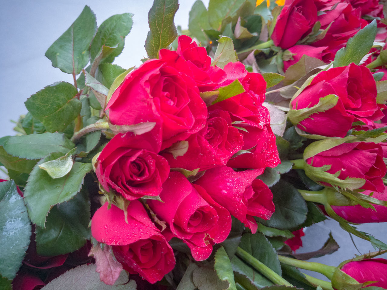 beauty in nature, freshness, flowering plant, red, petal, rose, flower, close-up, leaf, plant part, flower head, inflorescence, rose - flower, plant, nature, vulnerability, fragility, growth, no people, high angle view, flower arrangement, bouquet