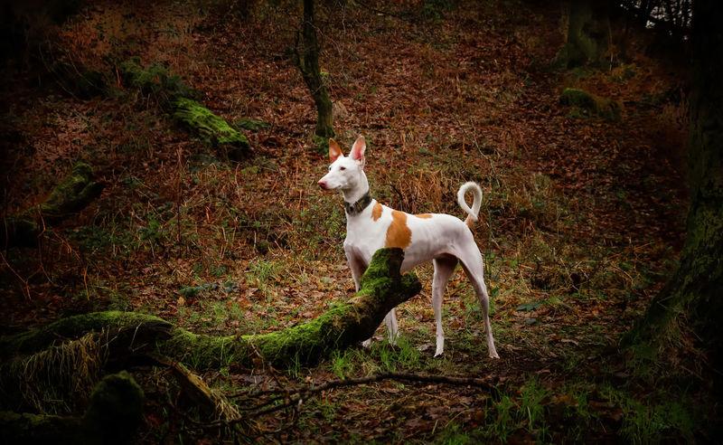 Animal Themes Beautiful Day Dog Domestic Animals Forest Ibizan Hound Mammal Nature No People One Animal Outdoors Pets Podenco Ibicenco Scotland Spanish Trees
