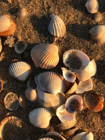 Beach Seashell Shell Nature Sunlight Seashell No People Land Day Outdoors Beach