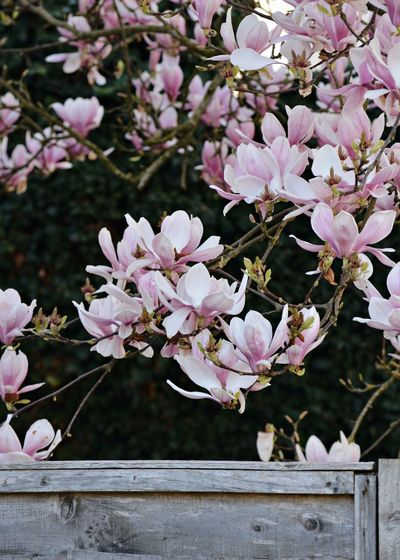 Close-up of pink flowers blooming on tree