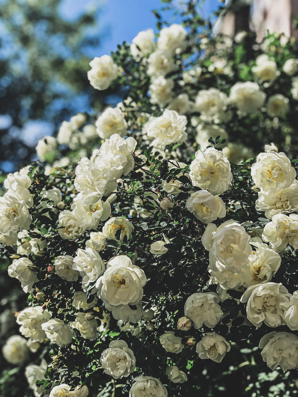 CLOSE-UP OF WHITE ROSE FLOWERS