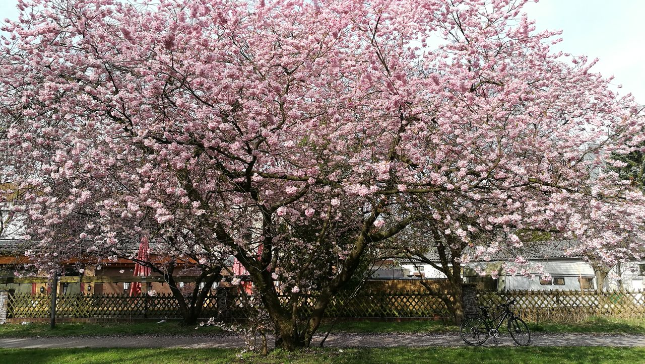 tree, cherry blossom, blossom, flower, springtime, cherry tree, pink color, beauty in nature, nature, no people, orchard, sky, fragility, growth, outdoors, scenics, freshness, branch, day, tranquility, grass