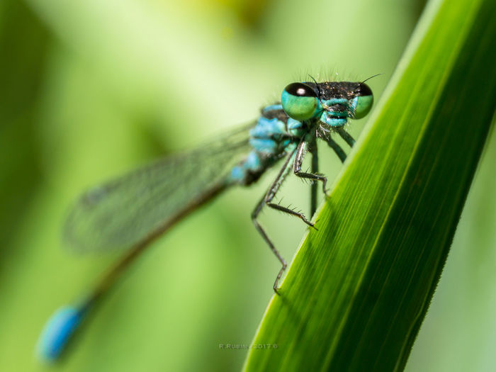 Insect Green Color Animal Wildlife Leaf Animals In The Wild Animal Themes One Animal Nature Day No People Close-up Damselfly Outdoors Beauty Green Color Fly Macro Insect Photography Plant Beauty In Nature Macro Insects Environmental Conservation