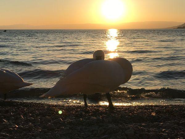 cygnes Beauty Cygne Lake Nature Outdoors Sunset