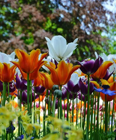 Flower Growth Nature Fragility Beauty In Nature Petal Plant Freshness Close-up No People Outdoors Blooming Flower Head Day Tulips Holland No People, Indoors Landscape