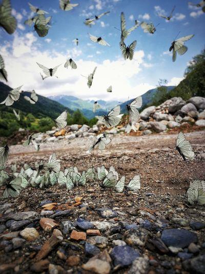 papillon The