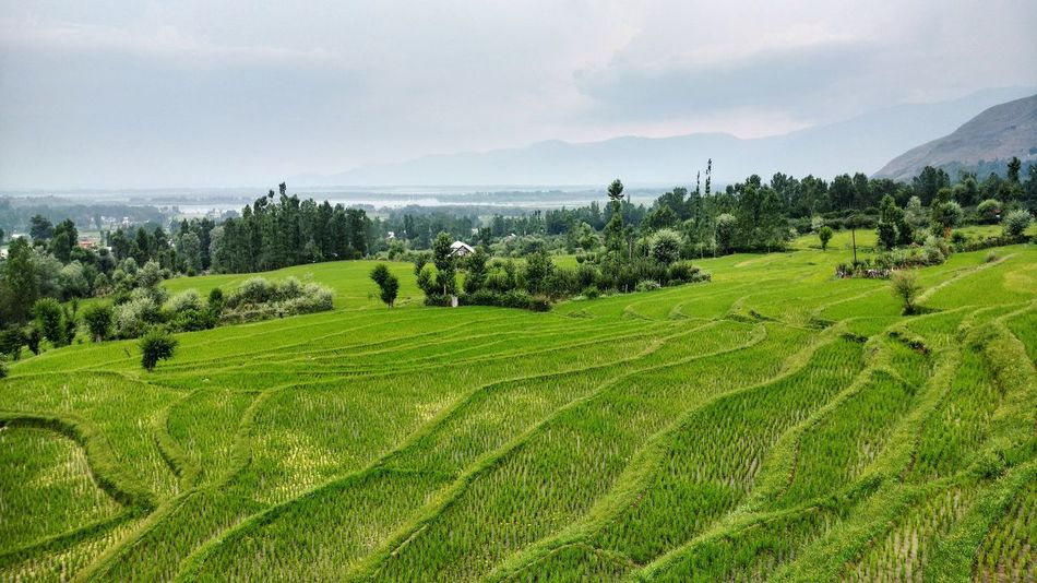 Kashmir Pakistan Revoshots Agriculture Beauty In Nature Crop  Day Farm Field Grass Green Color Growth Landscape Mountain Nature No People Outdoors Rice Paddy Rural Scene Scenics Sky Srinagar Kashmir Tranquil Scene Tranquility Tree