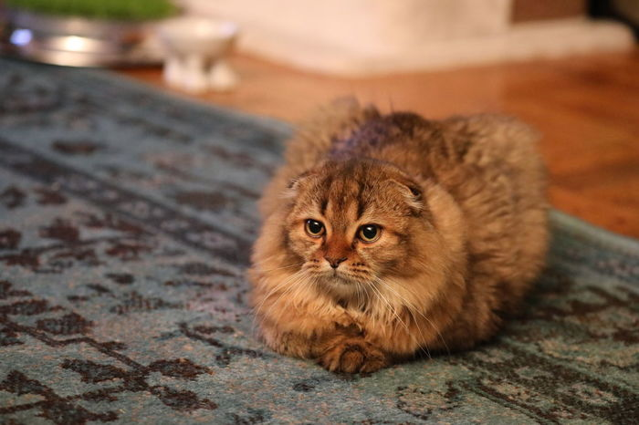 Mammal One Animal Cat Domestic Cat Domestic Feline Pets Domestic Animals Vertebrate No People Focus On Foreground Relaxation Looking At Camera Portrait Close-up Whisker Sitting Animal Eye Scottish Fold Tabby Scottish Fold