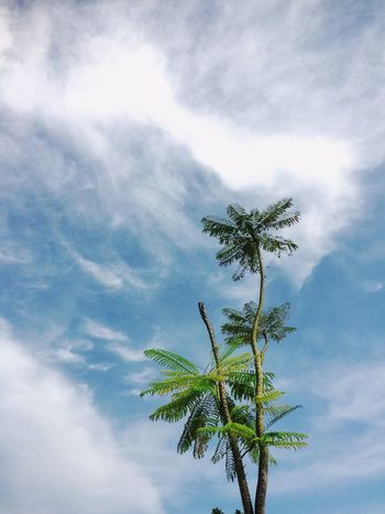 Standalone tree with sky blue background Leaves Blue Sky Tree Cloud - Sky Sky Plant Tree Growth Nature Low Angle View Beauty In Nature Leaf Day No People Plant Part Green Color Palm Tree Freshness Outdoors Tropical Climate Tranquil Scene Tranquility Scenics - Nature
