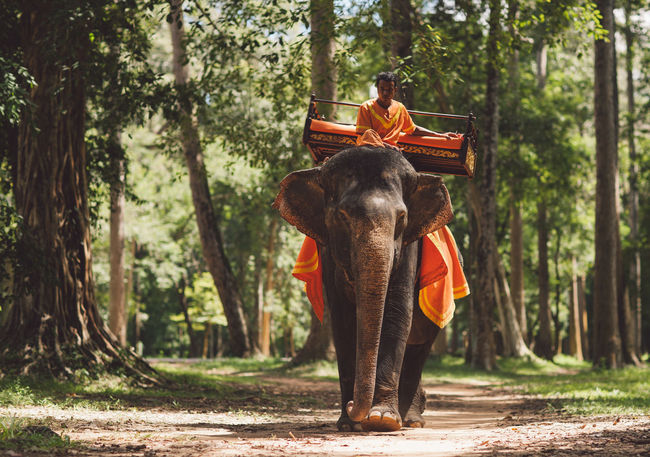 Siem Reap Cambodia Angkor Mammal Tree Elephant One Animal Indian Elephant Vertebrate Forest Domestic Animals Plant Domestic Animal Wildlife Pets People Full Length Day Front View Nature Outdoors Riding