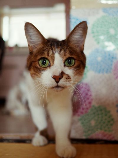 Animal Themes Pets Portrait Feline Domestic Cat Looking At Camera Ear Animal Themes Whisker Green Eyes