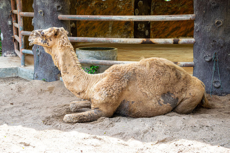 Camels are sick and the eyes can't see. Camel Desert Caravan Sand Background Animal Portrait Funny Camels Nature Resting White Summer Sky Smile Cute Face Travel Landscape Outdoor Hot Clouds Dry Safari Arab Wildlife Sun