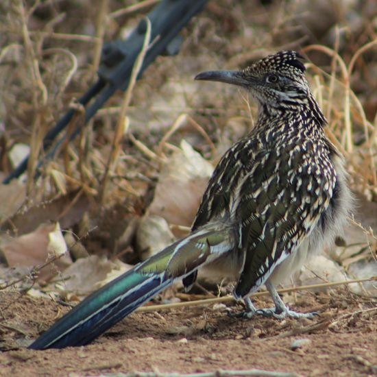 Animals In The Wild Avian Bird Fat Fatass Feathers Fluffy Geococcyx Californianus Greater Roadrunner Hibernation Nature New Mexico No People One Animal Outdoors Roadrunner Showcase: February Spotted Meep MeepSingle, Moving On Southwest  Sport Swiveled Turned Wildlife
