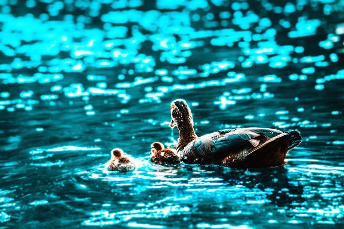 People Watching Soaking Up The Sun Nikon Ducks Family Blue Water_collection EyeEm Best Shots EyeEm Nature Lover First Eyeem Photo