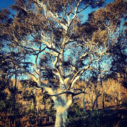 Gorgeous white trunked Aussie native gum tree!!