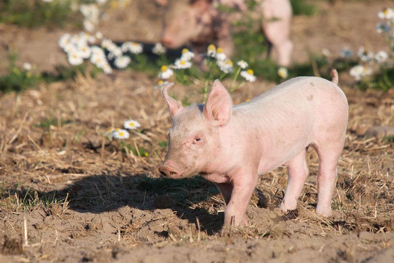 Young pig on organic farm