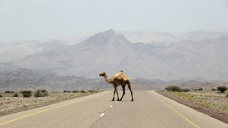 Animal Themes Animals In The Wild Beauty In Nature Camel Clear Sky Day Desert Domestic Animals Dromedary Full Length Landscape Lonely Mammal Mountain Mountain Range Nature No People Oman One Animal Outdoors Road Scenics Sky Transportation Walking