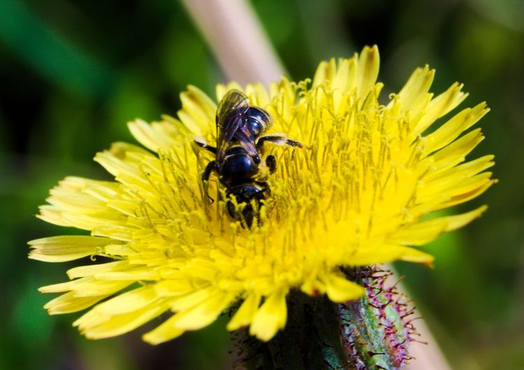 Close-Up Of Bee Pollinating On Yellow Dandelion Blooming Outdoors