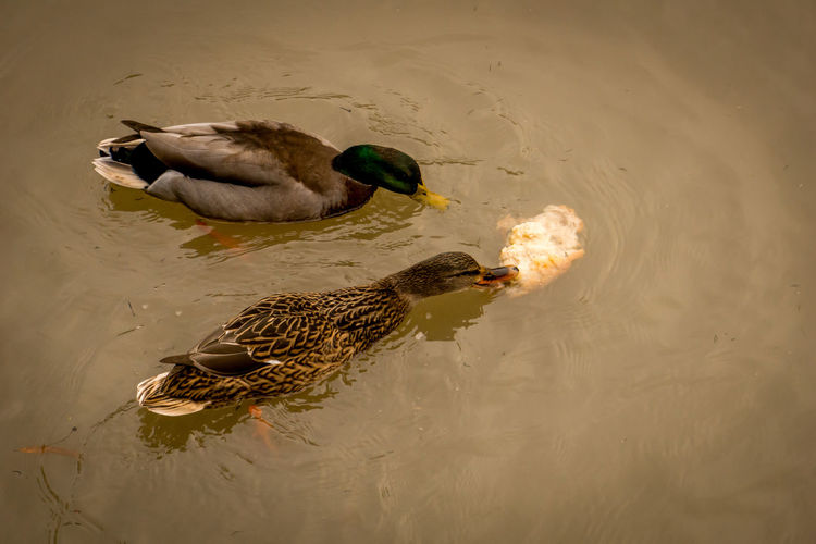 Ducks Animal