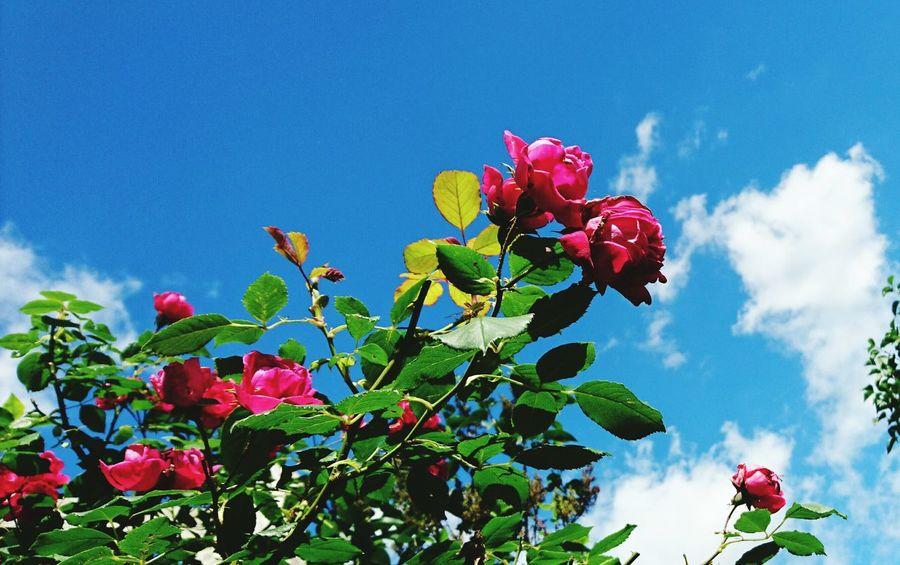 Rosen in unserem Garten Roses🌹 Flower Collection Flower Photography Flowers,Plants & Garden Flower Of Eyeem Flowers, Nature And Beauty Taking Photos Hello World Nature Photography EyeEm Gallery