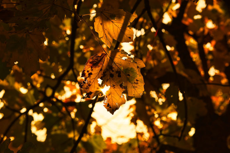 Low angle view of leaves on tree during sunset
