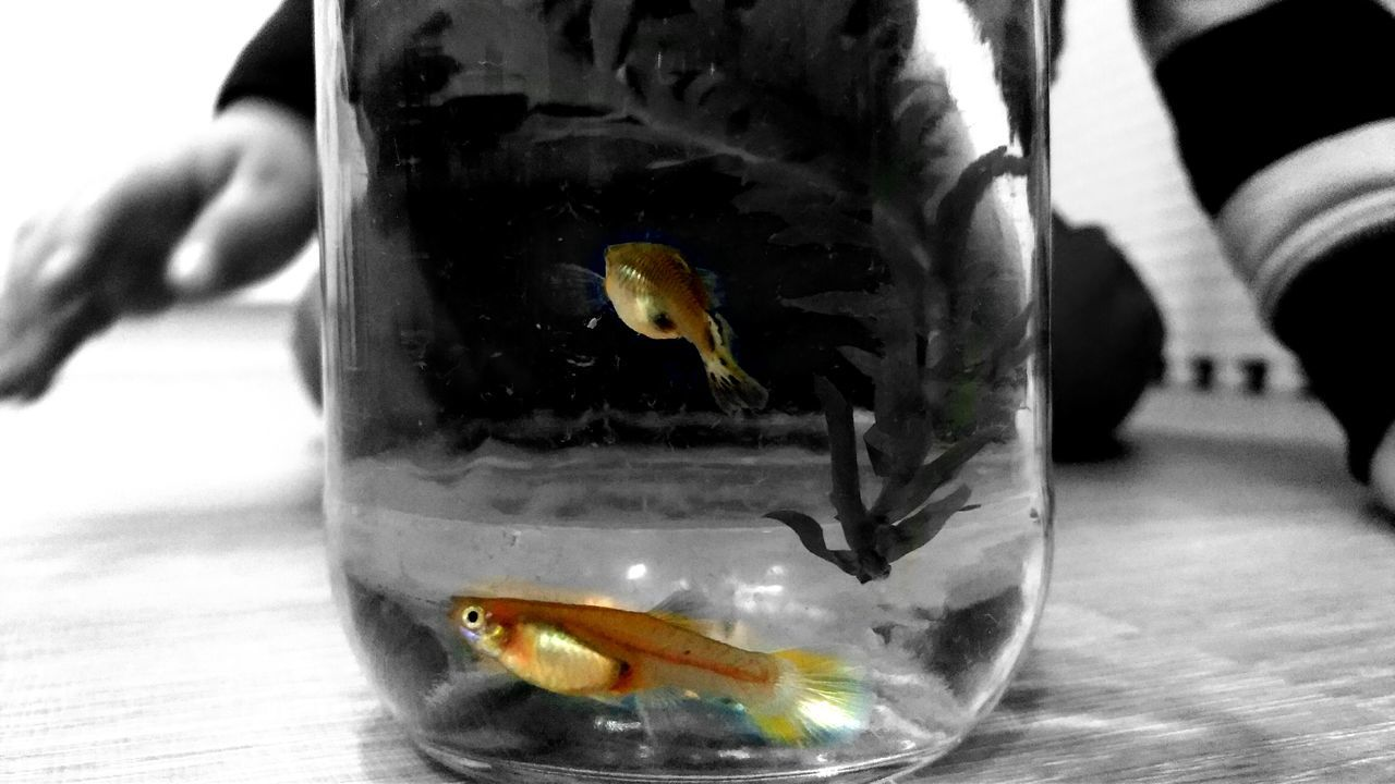 animal themes, one animal, fishbowl, animals in the wild, close-up, goldfish, fish, animal wildlife, water, pets, focus on foreground, indoors, swimming, domestic animals, day, human hand, bird, sea life, one person, nature, mammal, people