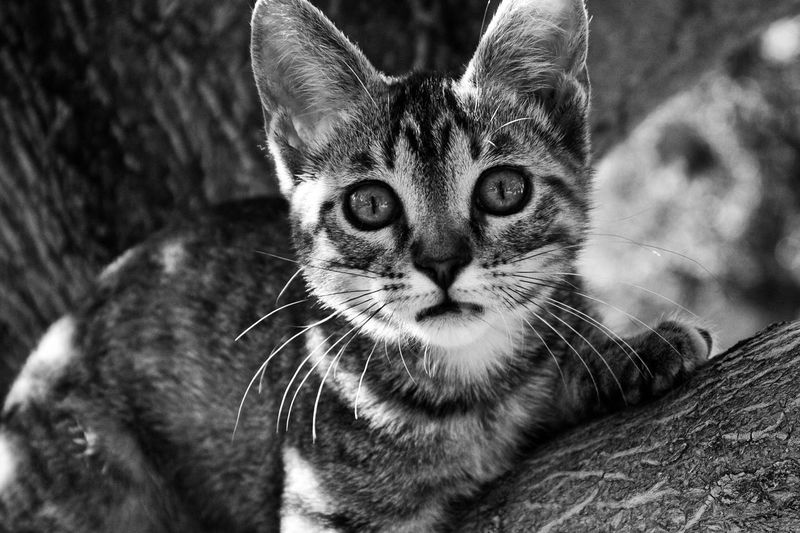 Kitty Kitty Cat Kitten Kittycat Tree Kitten In A Tree Up A Tree Cat Cat Up A Tree Black And White Monochrome Photography