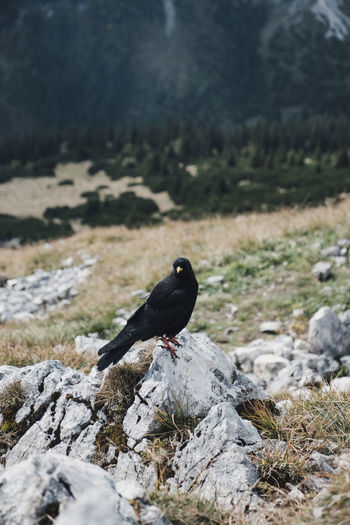 Alps, Germany Bird Photography German Alps Animal Animal Themes Animal Wildlife Animals In The Wild Bird Birds Black Color Blackbird Day Field Focus On Foreground Land Nature No People One Animal Outdoors Perching Rock Rock - Object Snow Solid Vertebrate EyeEmNewHere