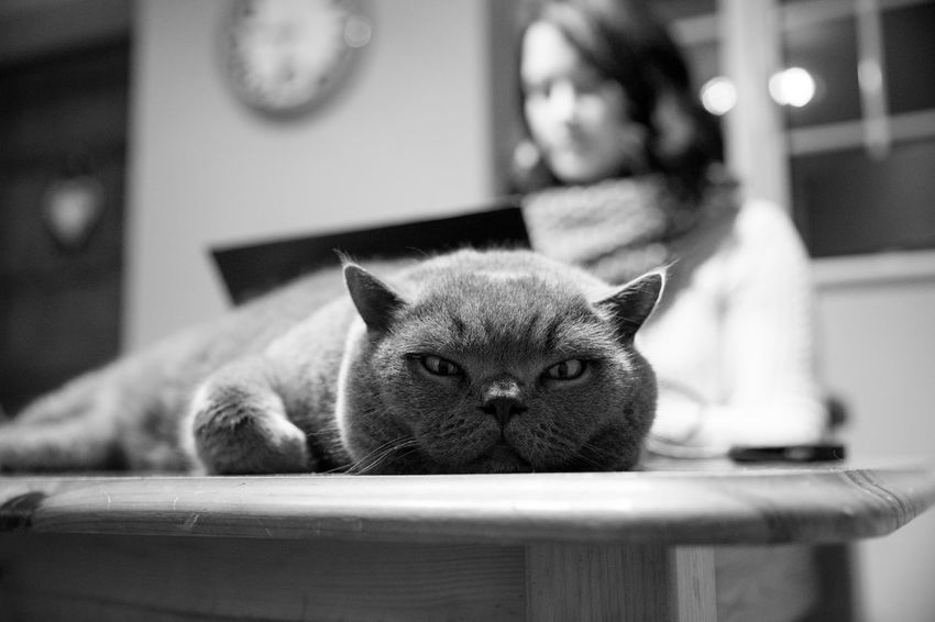 Black & White Black And White Blackandwhite British Blue British Shorthair Cat Cats Domestic Cat Freelance Life Happiness Home Laptop Meatball The Cat Pets Work Working Black And White Animals Cute Pets