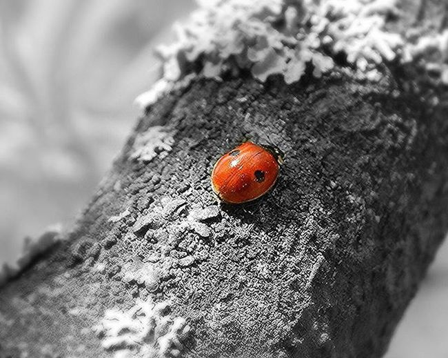Latvian national bug- two-spot ladybird 🐞🐞🐞Ladybird Latvija Latvia Naturephotography Macro Macro_brilliance Macrophotography Vscomacro Blackandwhite Nature Spring Eyem Bestsellers Eyem Best Shots EyeEm Best Shots