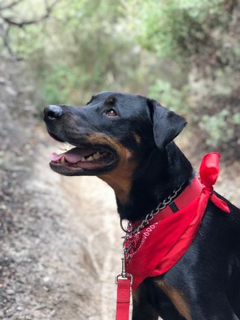 Red Bandana Dog Pets Domestic Animals Animal Themes One Animal Mammal Black Color Outdoors Red Day