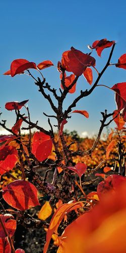 Close-up of red leaves on tree against sky