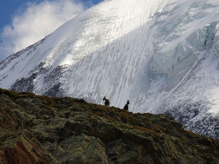Scenic view of animals standing against snowcapped mountain