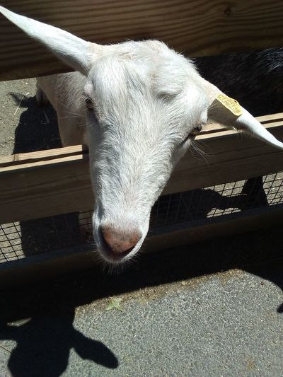 Roger Williams Park Zoo My Work Day Zoo Goat Selfie