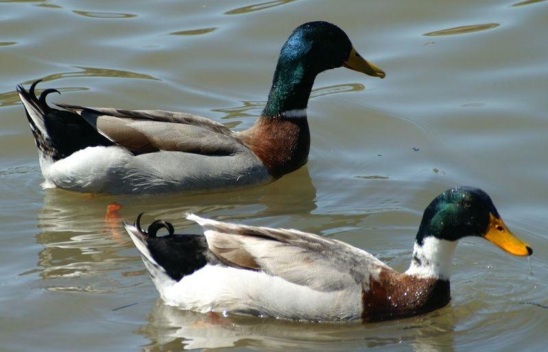 Close-up of mallard ducks on lake