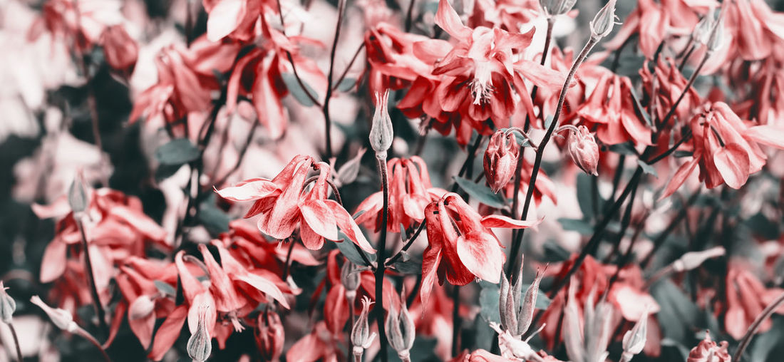 Close-up of red flowering plants