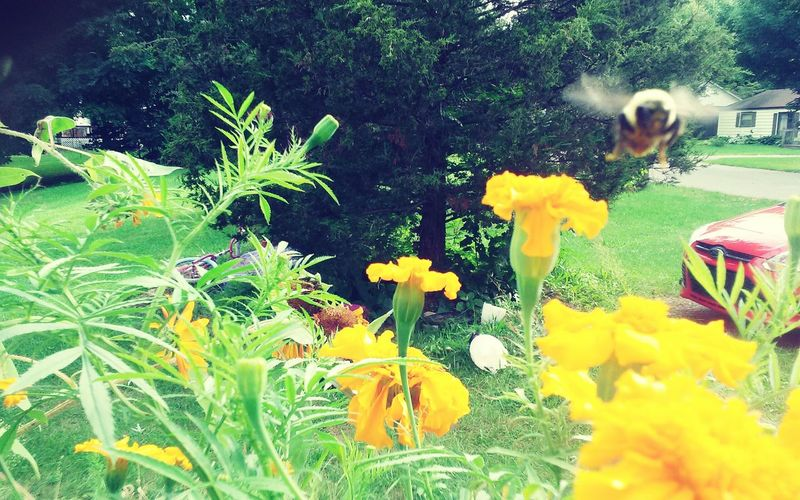 Flower Freshness Growth Fragility Petal Yellow Plant Flower Head Field Nature In Bloom bBeauty In Nature Day Growing Outdoors Blossom Vibrant Color Springtime Green Color Tranquility Bumblebeesonflowers Bumble Bee In Flight Garden Photography Marigold Flower English Garden Style