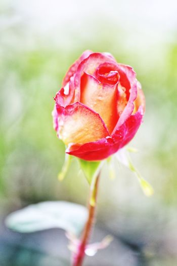 Flower Plant Flowering Plant Beauty In Nature Rosé Vulnerability  Freshness Fragility Rose - Flower Close-up Petal Inflorescence Flower Head Growth Nature Pink Color Focus On Foreground No People Water Outdoors