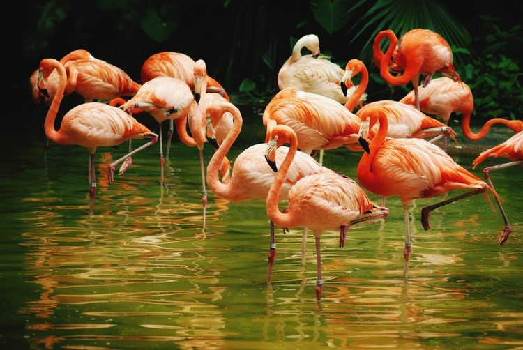 American flamingos in flocks