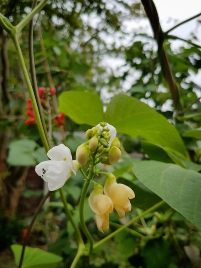 bean pole flower Bean Plant Permaculture Organic Garden Growing Bean Vegetable Flower Tree Flower Head Leaf Close-up Plant Green Color Blooming Blossom