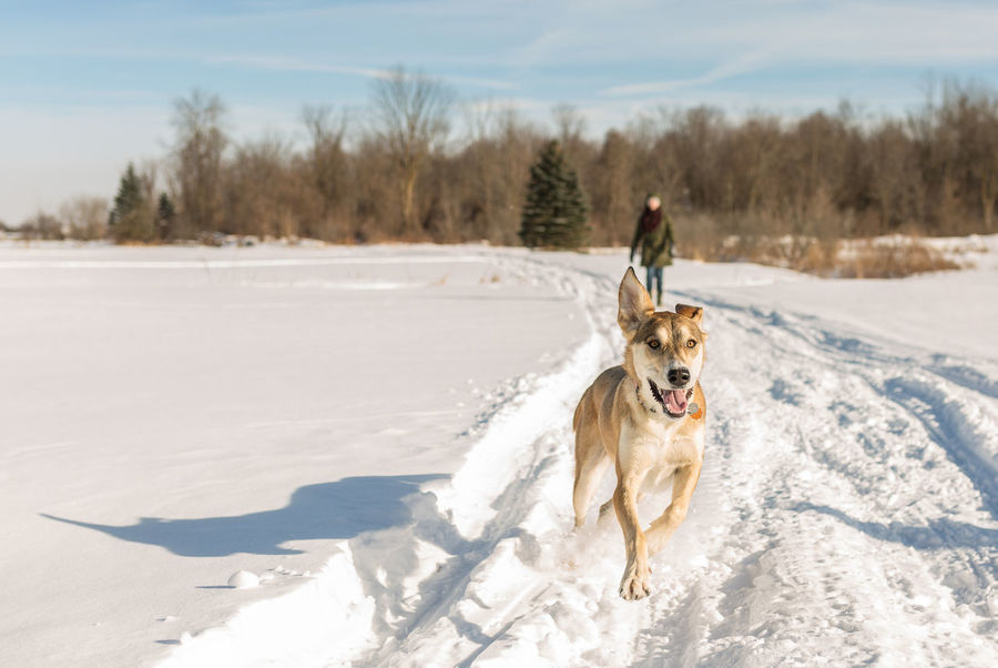 Running free Dog Pets Snow Animal Winter Cold Temperature Purebred Dog One Animal Domestic Animals Animal Themes Outdoors Nature Rural Scene Mammal