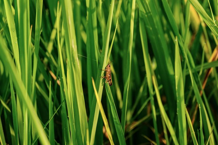 Close-up shot of a grasshopper and rice plantations in the rice field.