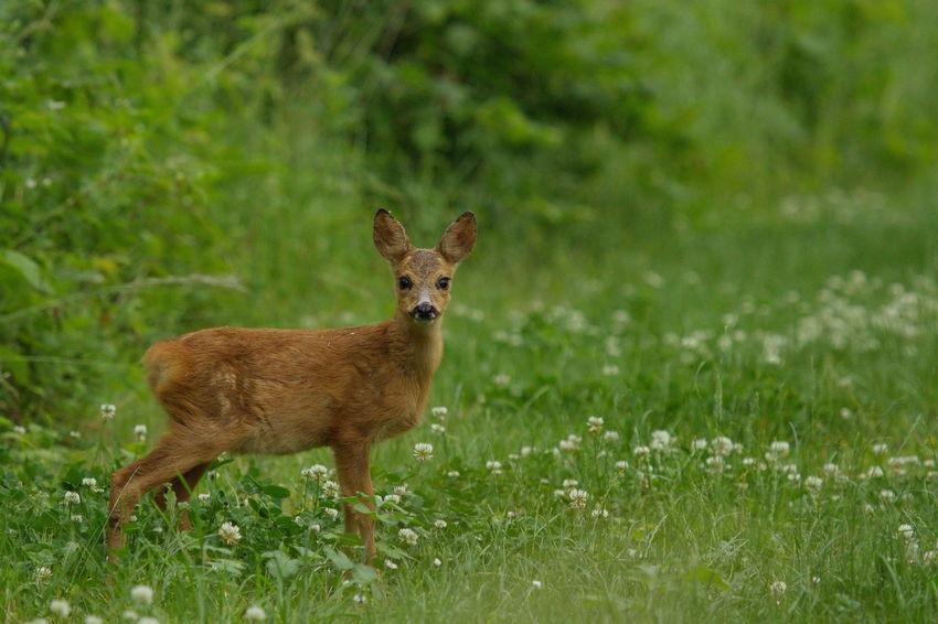 Animal Animal Themes Beauty In Nature Biesbosch Grass Grassy Ree Reekalf Roe Deer Roe Deer Cub Wildlife & Nature Wildlife Photography